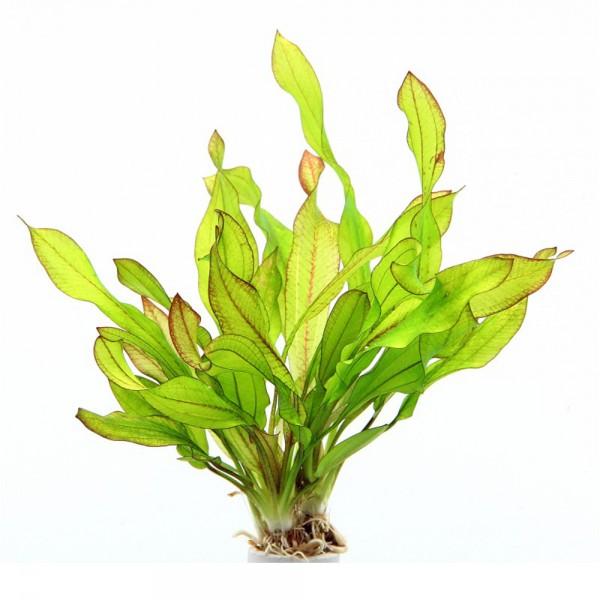 Amazonas Schwertpflanze Echinodorus Green Chamäleon 01