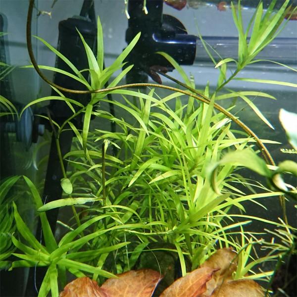 Seegrasblättriges Trugkölbchen - Heteranthera zosterifolia
