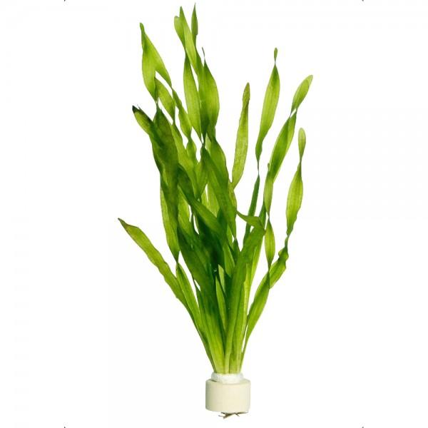Wasserschraube Vallisneria americana var. asiatica 01